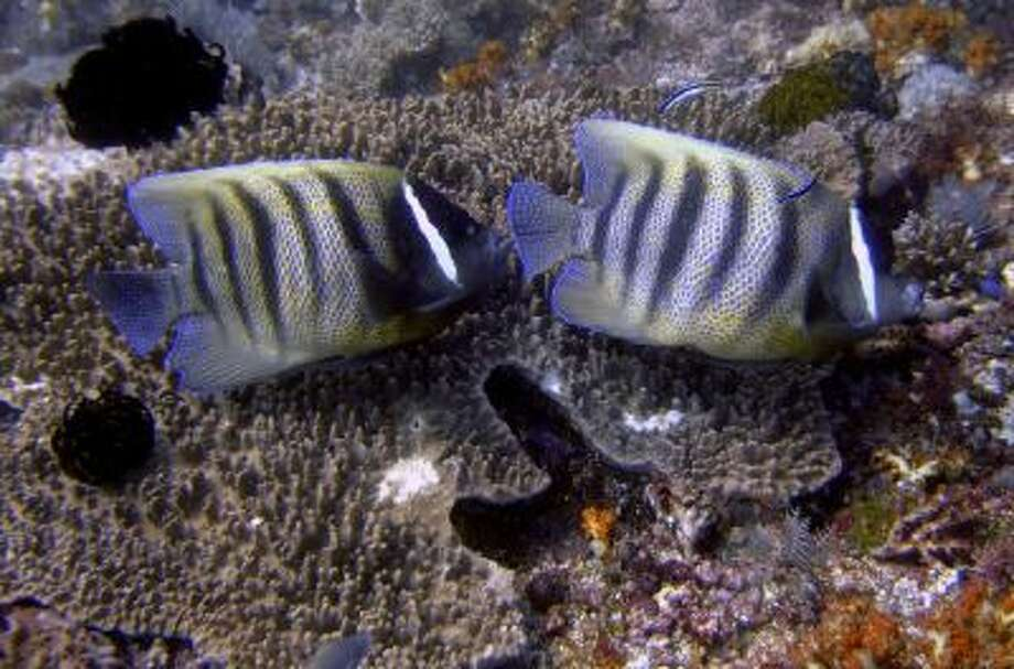 A couple of six-banded angel fish rest on coral reefs in the water off Komodo island, Indonesia.