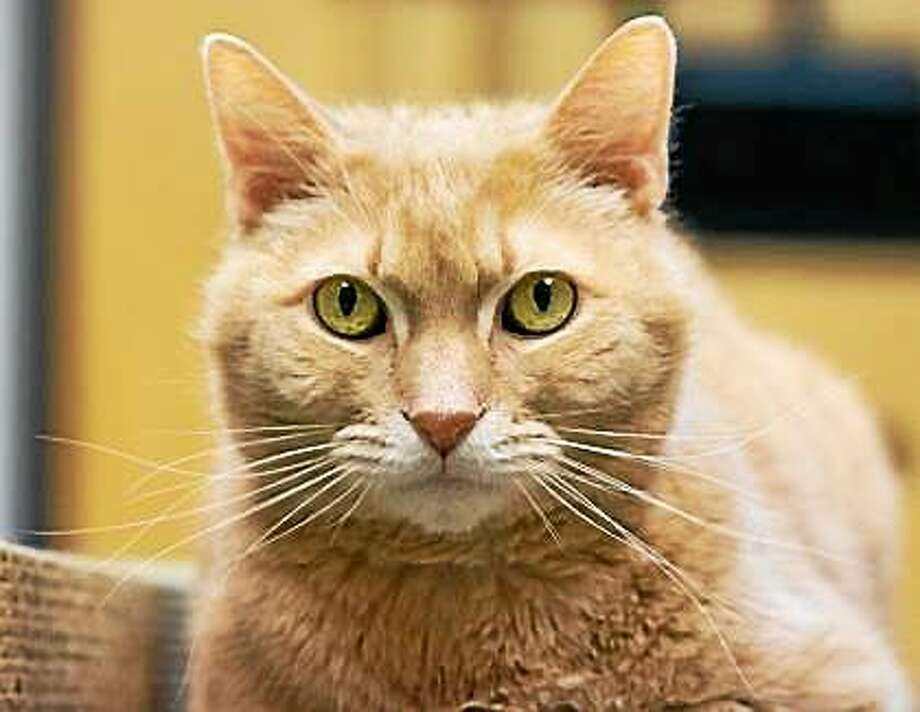 Ruby Ruby is precious, just like the gem of the same name!  This orange, eight-year-old medium-size male is a love who will cherish the attention that he is asking for.  Ruby has tons of love and energy to share with his new family.  Come and visit Ruby in Newington to discover who you want to take home to help you stay warm and cheery during these cold winter days and beyond.  Remember, the Connecticut Humane Society has no time limits for adoption.  Inquiries for adoption should be made at the Connecticut Humane Society located at 701 Russell Road in Newington or by calling (860) 594-4500 or toll free at 1-800-452-0114.  The Connecticut Humane Society is a private organization with branch shelters in Waterford, Westport and a cat adoption center in the PetSMART store in New London.  The Connecticut Humane Society is not affiliated with any other animal welfare organizations on the national, regional or local level. Photo: Journal Register Co.
