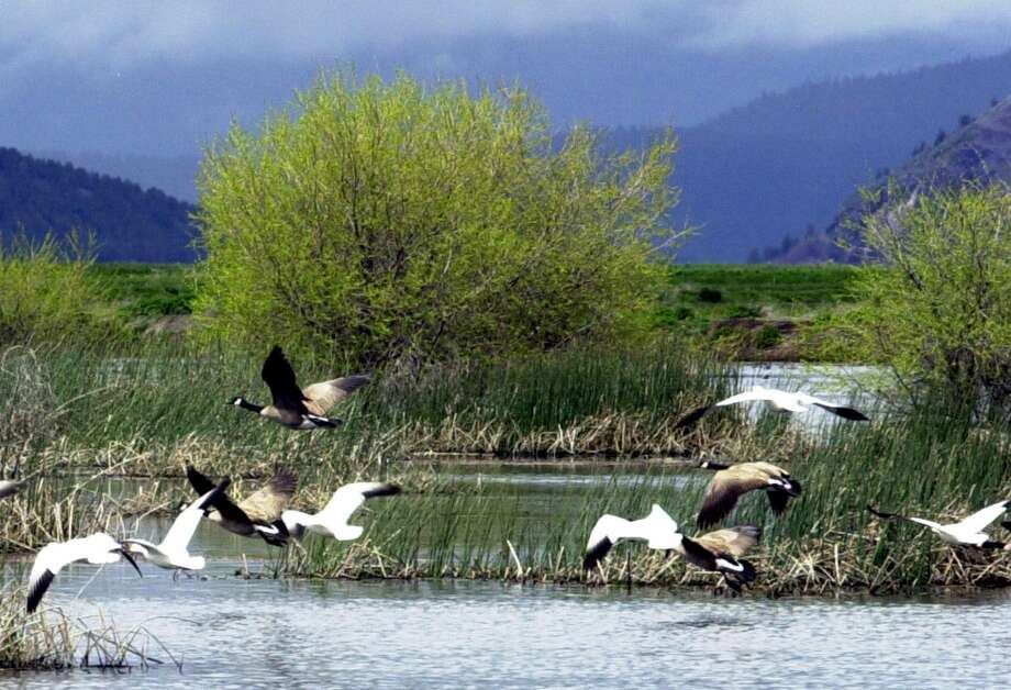 FILE - In this May 9 2005, file photo, shows snow geese and Canada geese preparing to land on marsh at the Lower Klamath National Wildlife Refuge near Merrill, Ore.  Wildlife officials say 2,000 migrating snow geese have died in eastern Idaho likely because of avian cholera. The Idaho Department of Fish and Game says staff and volunteers collected the dead birds over the last several days at the Mud Lake Wildlife Management Area near Terreton and the Market Lake Wildlife Management Area near Roberts.  (AP Photo/Jeff Barnard, File) Photo: AP / AP