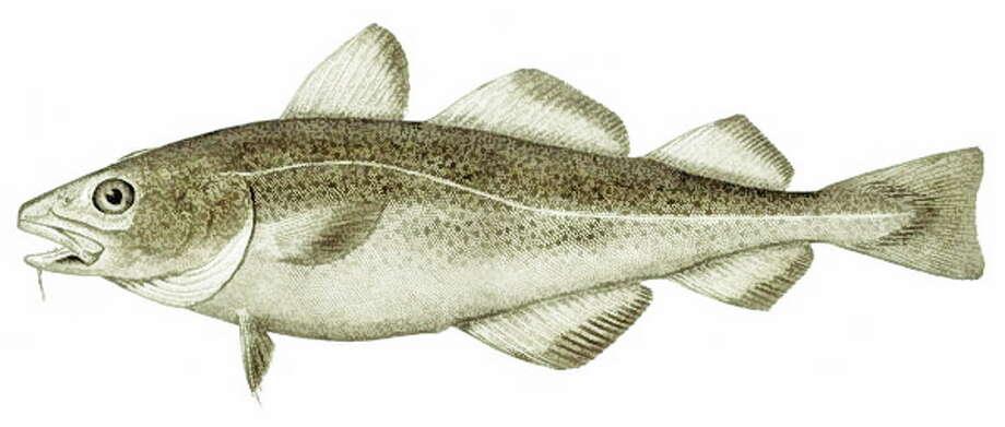 An Atlantic cod Photo: Journal Register Co.