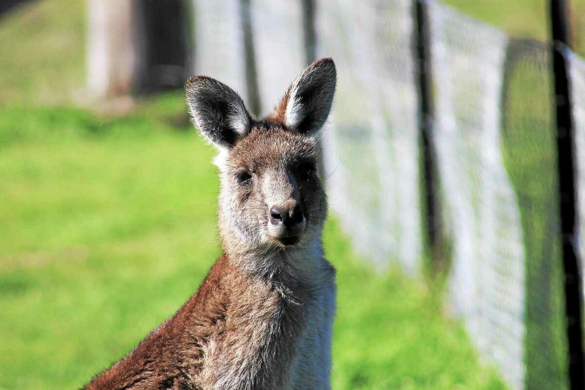 At 27 million, Australia has more kangaroos than people.