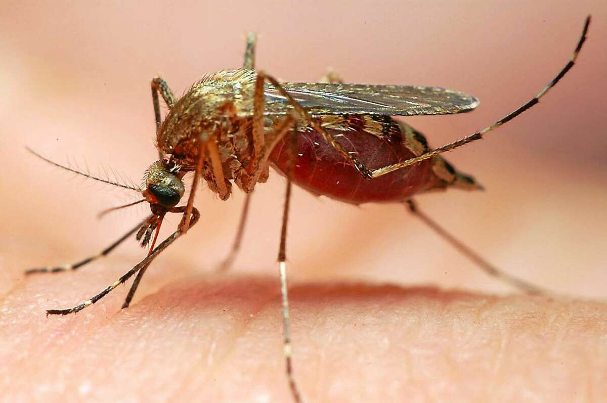 The Ochlerotatus canadensis is one type of the 3,500 species of mosquitoes that are capable of transmitting West Nile Virus to both humans and animals. File photo: By Entomologist Gene White