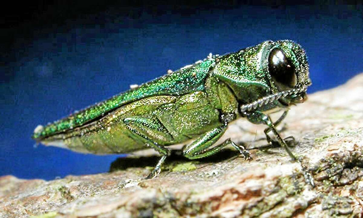 In an undated photo provided by the Minnesota Department of Natural Resources, an adult emerald ash borer is shown. The highly destructive insects which kill ash trees are metallic green and about a half-inch long.