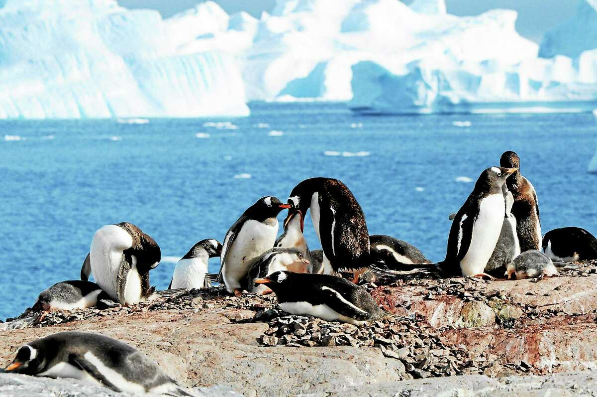 """Madison resident Rianna DiBartolo-Cordovano is an avid traveler and passionate photographer. Her love of travel stems from her enthusiasm for exploration of both the beauty of varied cultures and the majesty of nature. Above,a photo titled """"Penguin Behavior."""""""