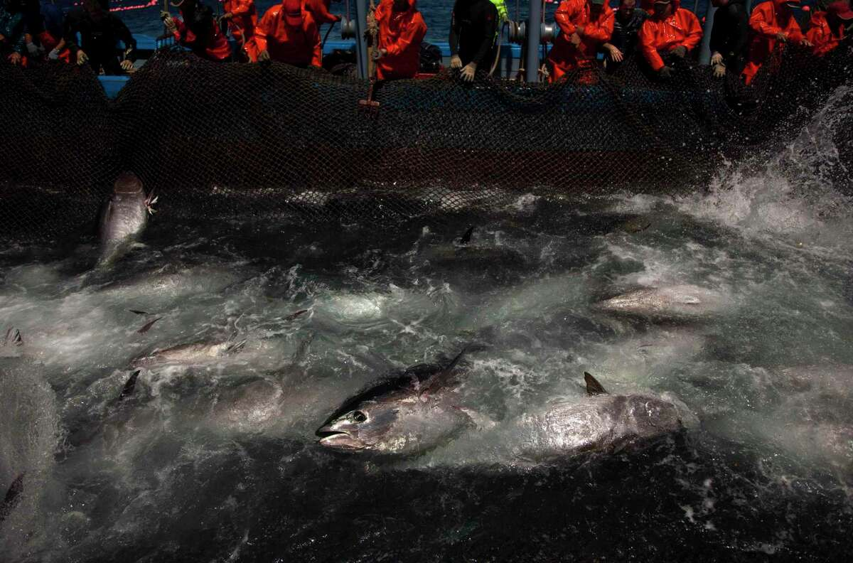 In this Wednesday, April 27, 2011, file photo, Atlantic bluefin tuna are surrounded by fishing nets during the opening of the season for tuna fishing off the coast of Barbate, Cadiz province, southern Spain. The European Union is looking into reports that cheap seafood is often mislabeled as choice fish in some of the Belgian capital's fine restaurants and even in EU cafeterias. The Oceana environmental group said Tuesday, Nov. 3, 2015 it found that 31.8 percent of seafood it tested in and around EU institutions in Brussels was a different fish than what was labeled on the menu. Oceana said 95 percent of what was labeled Bluefin tuna — a fatty, sublime sushi favorite — was actually a less expensive species, served to make a hefty profit.