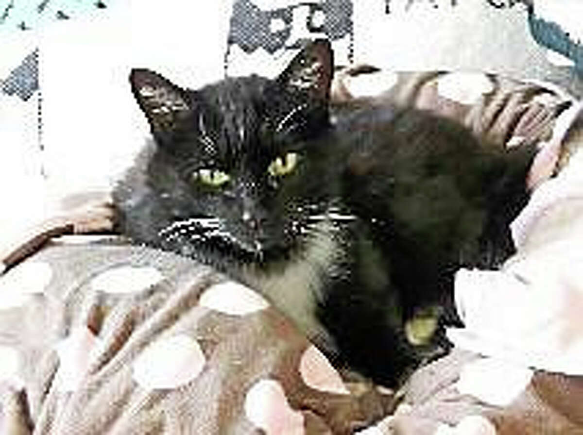 Breed:Domestic Short HairColor:Black & WhiteAge:12 years Are you looking for a new companion? I am a friendly girl who loves to be held and would purr on your lap for hours. I want all your attention so am looking for a home where I can be the only pet. When my friends at Cat Tales rescued me, I was in such bad shape they did not think I would pull through. But I surprised them with my resilience. Now I am strong and healthy and ready for a new home. To stay healthy, I need to take thyroid medicine twice a day, but I make it easy. You can just mix it in my food. I also just had a full dental, so I am ready to go! Please come meet me to see just how sweet I am!No CatsNo DogsNo Children?On the Web: http://www.CatTalesCT.org/cats/HEIDI Phone: (860) 344-9043 Email: Info@CatTalesCT.org?