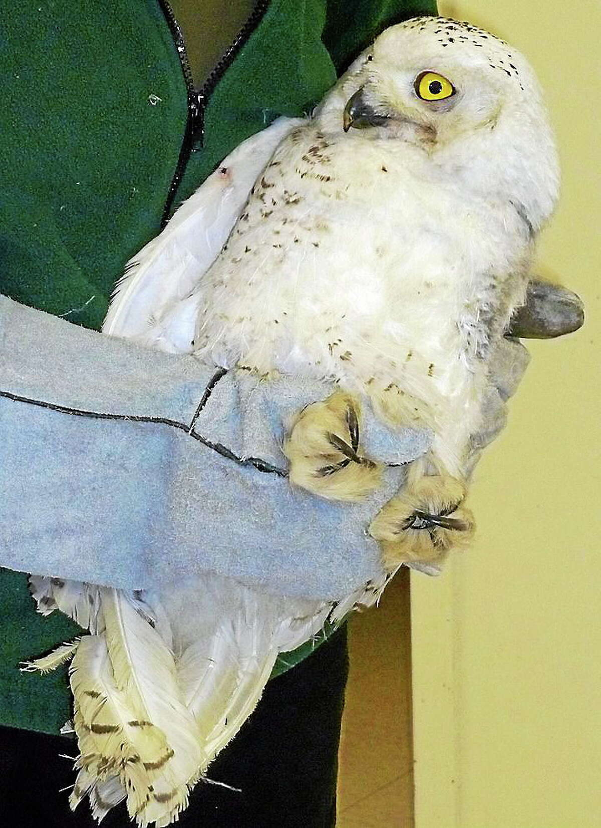 This snowy owl got his feathers fixed.