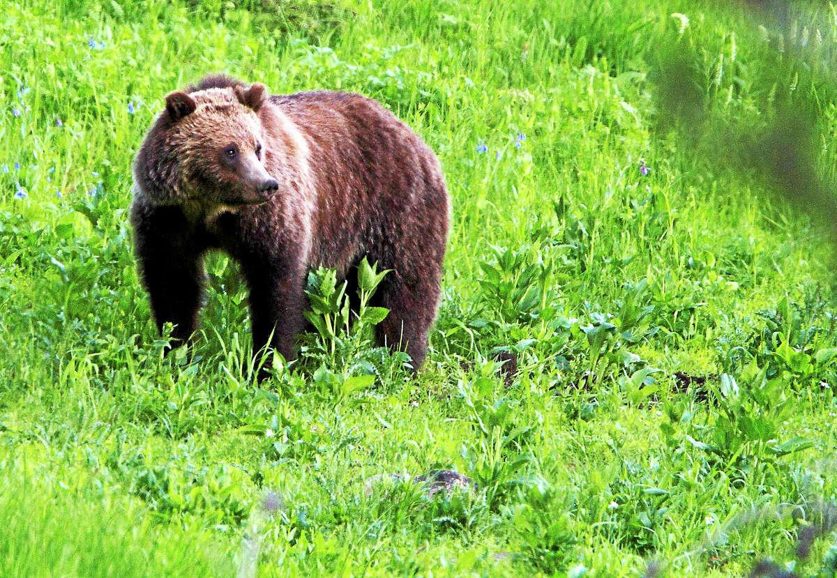 A grizzly bear roams near Beaver Lake in Yellowstone National Park, Wyo.