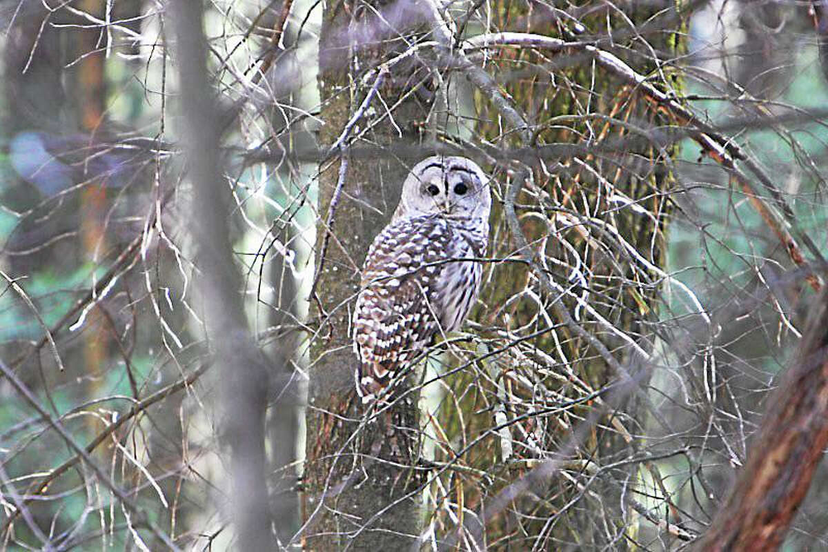 Barred owls need a large, unbroken habitat. Photo contributed by Connecticut Audubon Society
