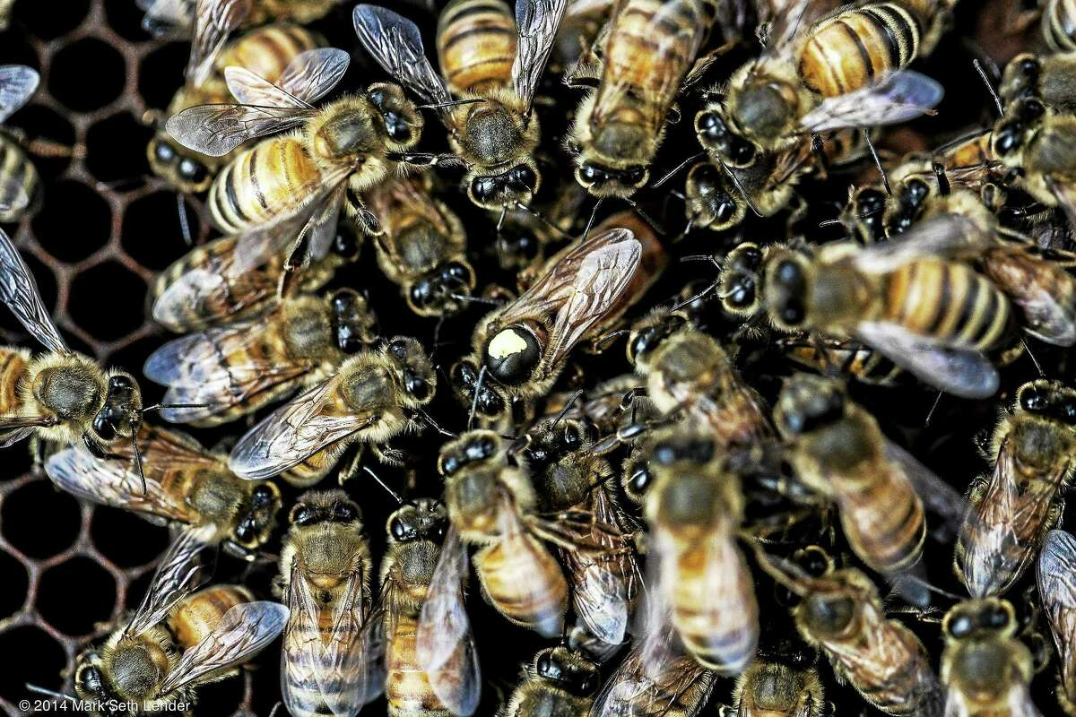 Mark Seth Lender photos Long live the queen — the queen bee, that is.