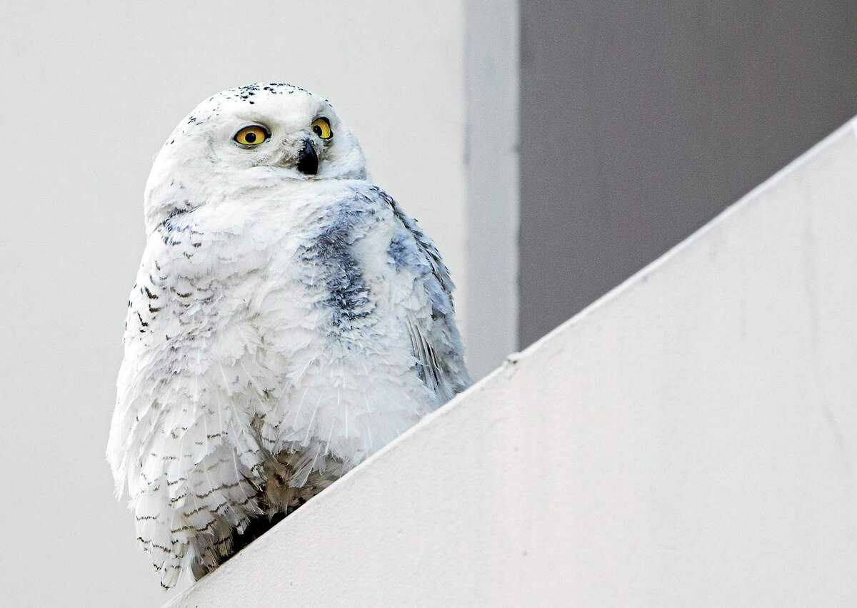 In this Jan. 24, 2014 photo, a snowy owl rests on a ledge of a building in Washington.
