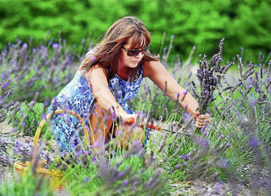 Denise Salafia owner and operator of Lavender Pond Farm at 318 Roast Meat Hill Road in Killingworth, picks lavender on Aug. 7. Photo: Catherine Avalone — New Haven Register   / Catherine Avalone/New Haven Register