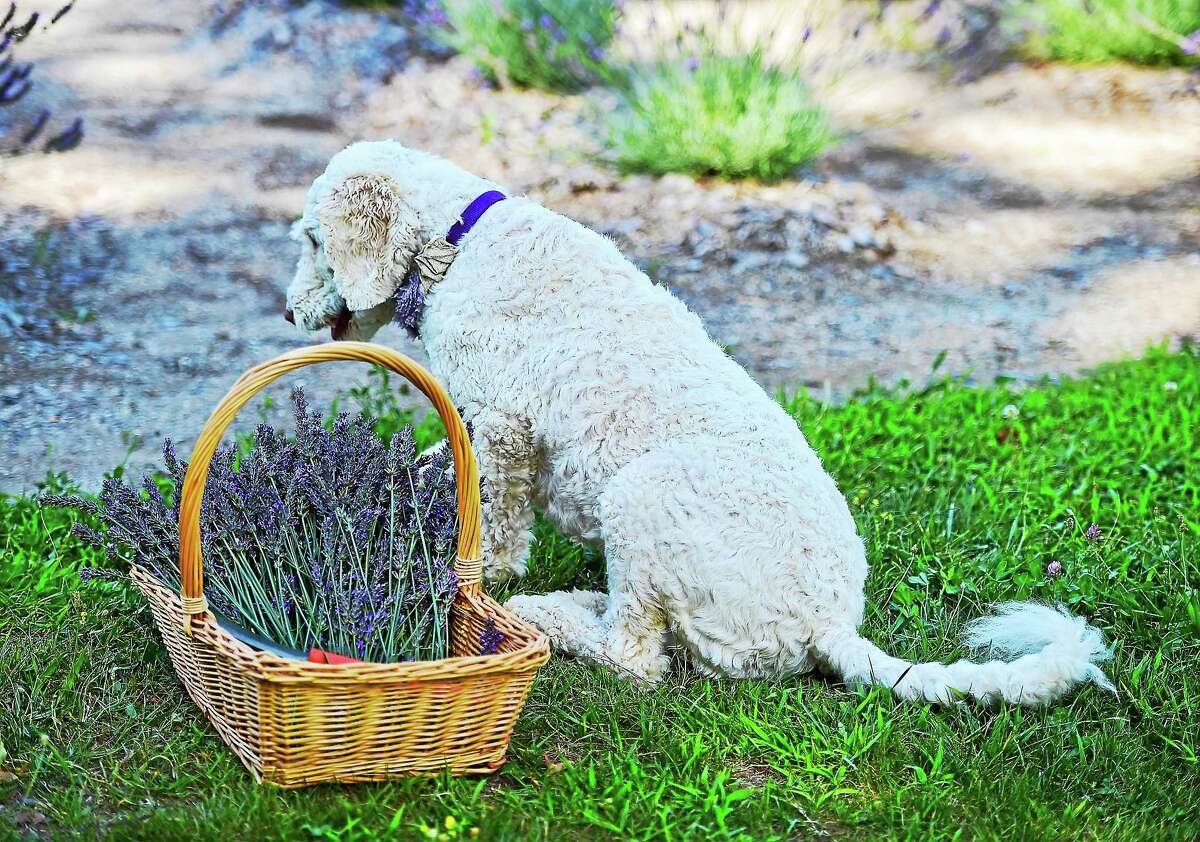 Flora, the Salafias' dog, sits with fresh picked lavender.