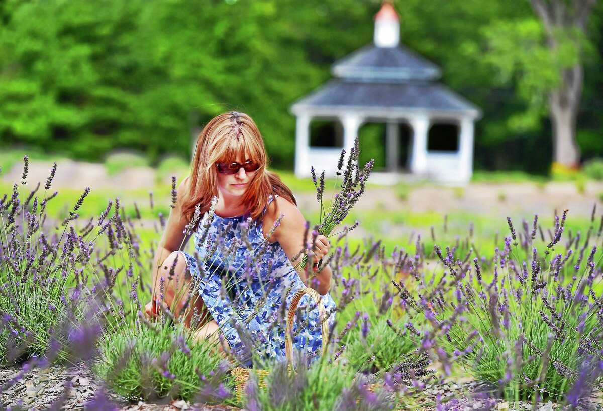 Denise Salafia owner of Lavender Pond Farm at 318 Roast Meat Hill Road in Killingworth with her husband Chris, cuts fresh lavender, Friday, August 7, 2015. (Catherine Avalone/New Haven Register)