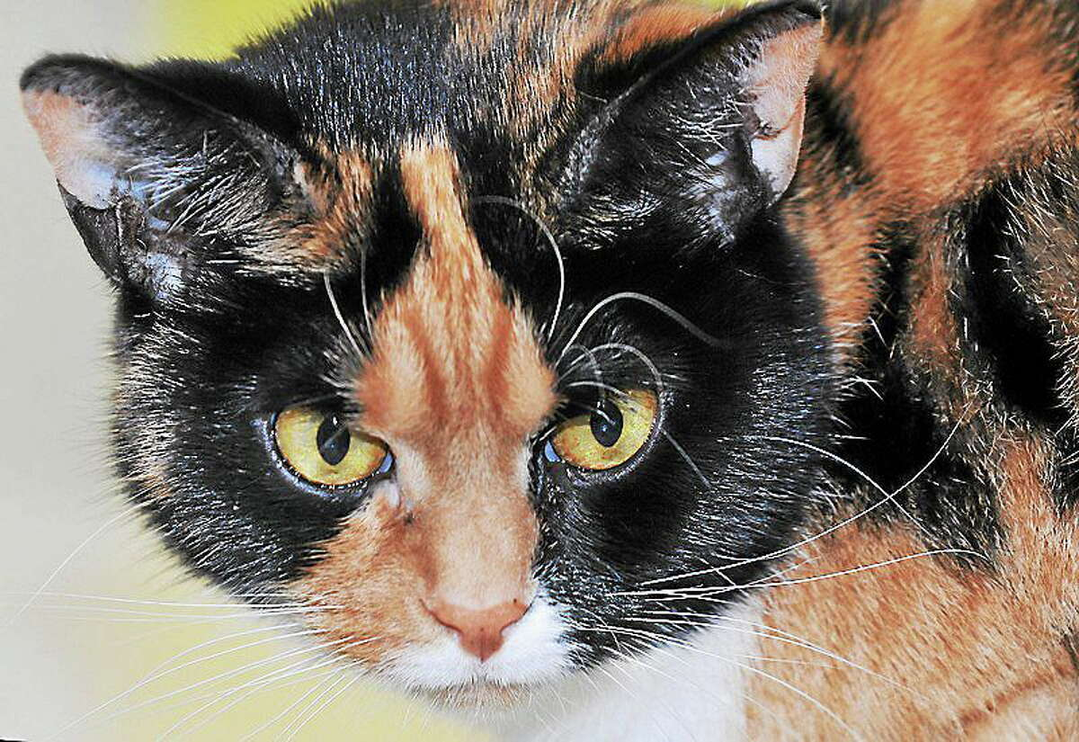 January 31, 2014 - Callie, a 5-year-old calico female. Needs home without dogs or children. Call CATALES, Inc. at 860-344-9043. CATALES, Inc. is a non-profit no-kill organization consisting of volunteers dedicated to improving and enriching the lives of homeless cats and kittens. http://www.catales.org/callie-p-653.html (Catherine Avalone/The Middletown Press)