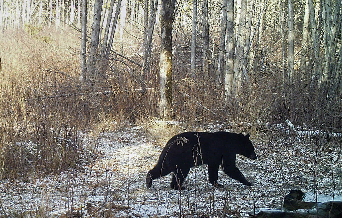A black bear is seen ambling along on a trail in Georgia, Vt. The lack of snow is contributing to delayed hibernation for some black bears and making snowshoe hares conspicuous to predators.
