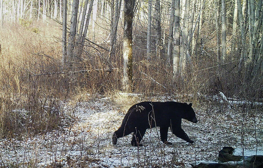A black bear is seen ambling along on a trail in Georgia, Vt. The lack of snow is contributing to delayed hibernation for some black bears and making snowshoe hares conspicuous to predators. Photo: Norm And Kristina Senna Via AP  / Norm and Kristina Senna