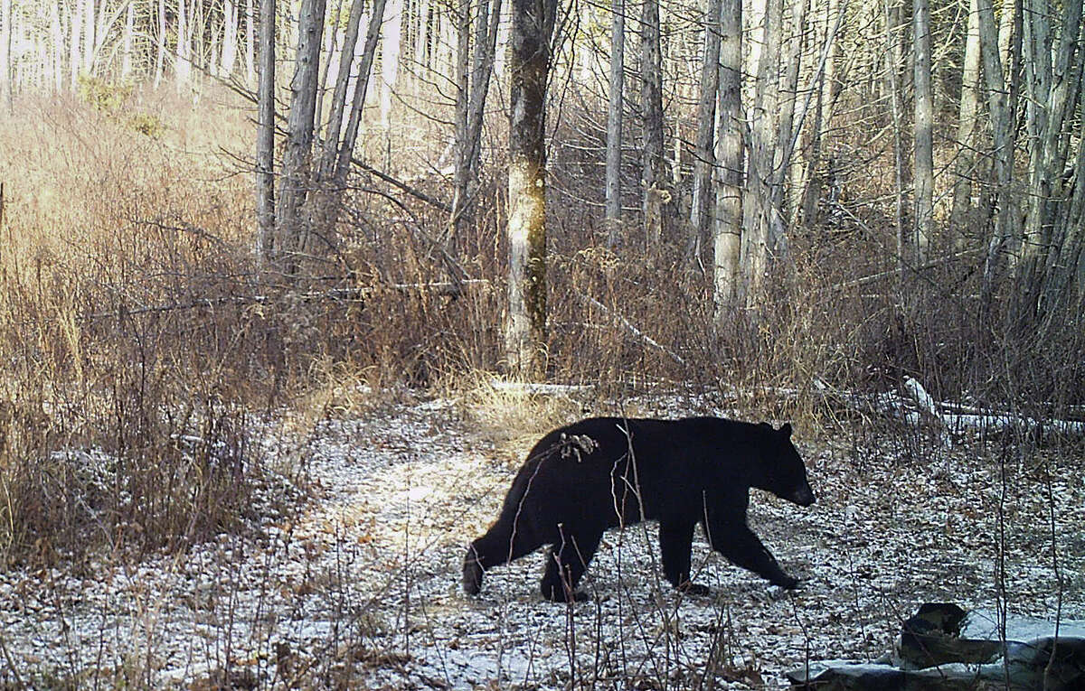 This Nov. 30, 2015, photo provided by Norm and Kristina Senna shows a black bear on a trail in Georgia, Vt. The lack of snow is contributing to delayed hibernation for some black bears and making snowshoe hares conspicuous to predators. Access to food is keeping some out of their winter dens and has prompted officials in Vermont and Massachusetts to urge residents to wait for snow before putting up bird feeders to avoid attracting bears.
