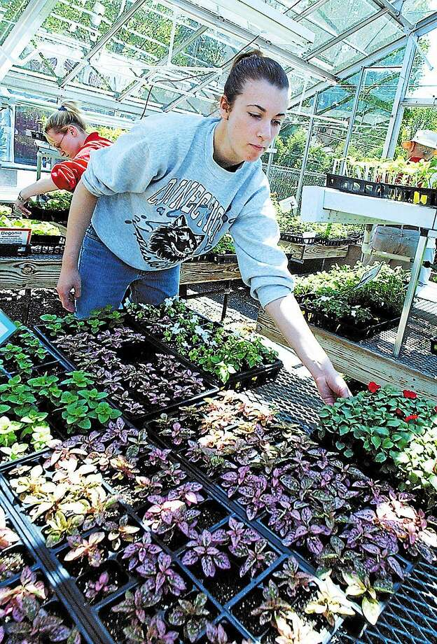 Middletown High School sophomore Ashley Scott works in the VoAg greenhouse during the annual VoAg Plant Sale in this archive photo. Photo: File Photo