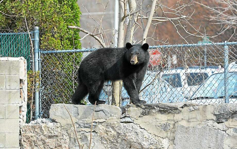 A bear was spotted Wednesday morning at the corner of Prospect and Water streets in Torrington. Police were on scene with the bear awaiting the arrival of state authorities. Photo: Jay Torsiello — The Register Citizen