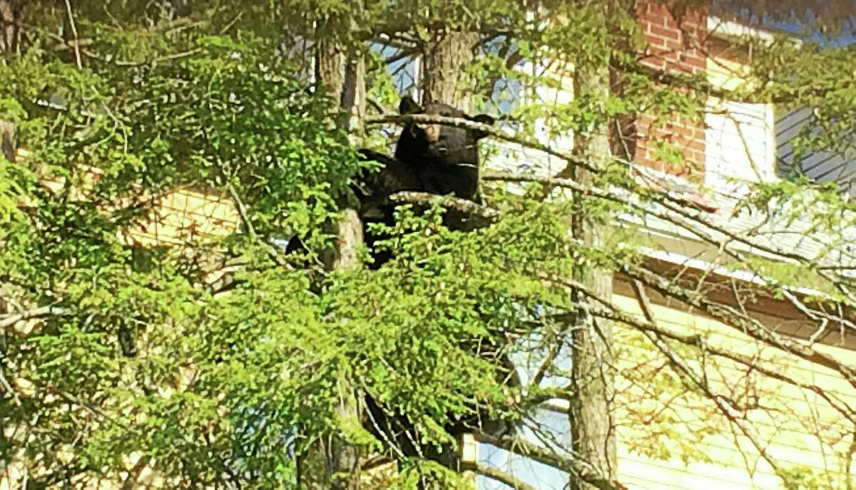 A bear was spotted Wednesday morning at the corner of Prospect and Water streets in Torrington. Police were on scene with the bear awaiting the arrival of state authorities.