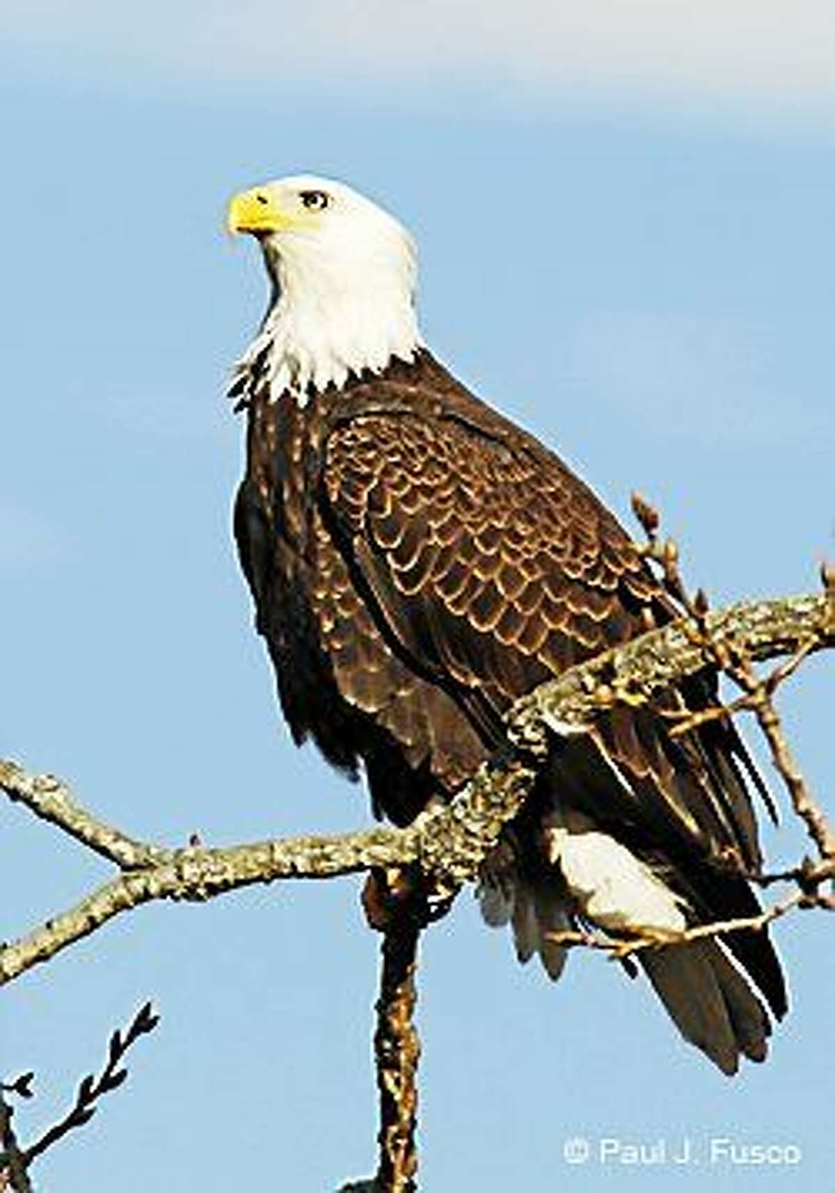 This bald eagle, like the one killed, was photographed in Connecticut.