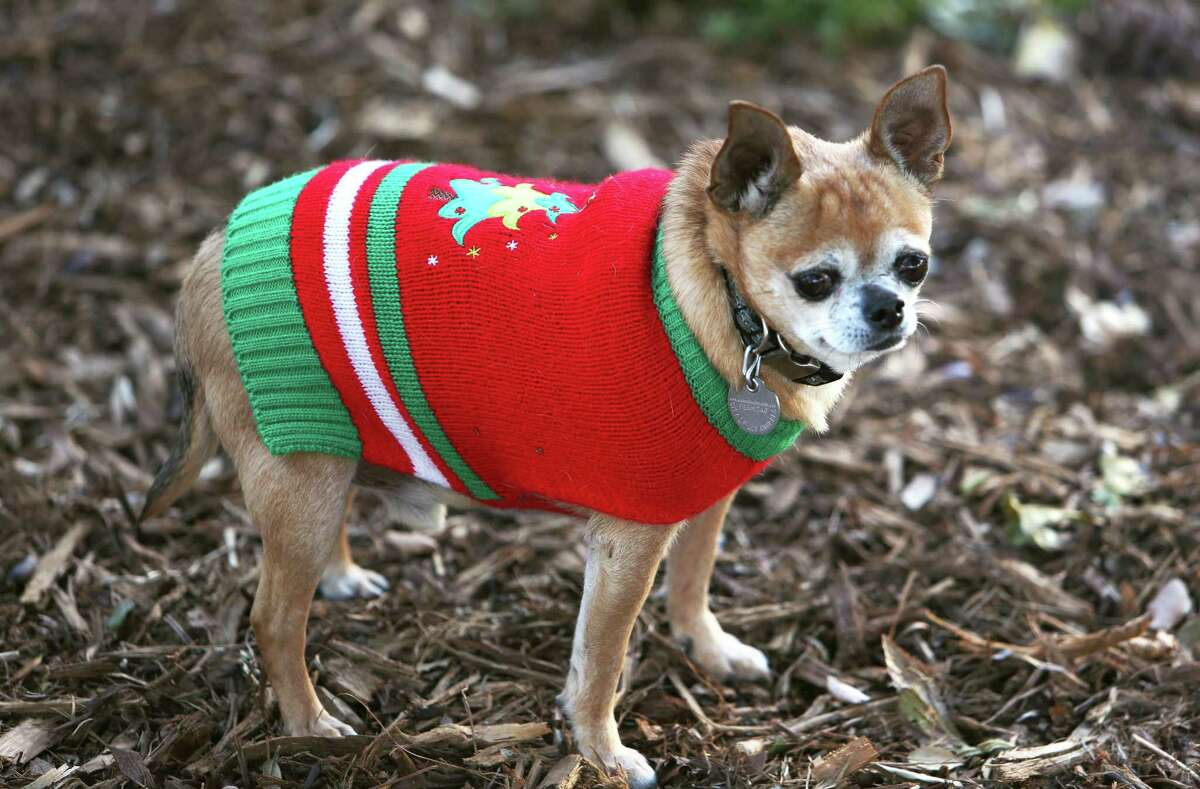 This Dec. 5, 2015, photo shows an 8-year old Chihuahua named Coco out in the winter cold in his new Christmas sweater in Los Angeles. Ugly sweaters aren't just a Christmas tradition for people. Cats, dogs and even guinea pigs are joining the party. Television ushered the ugly sweater in and out in the 1980s.