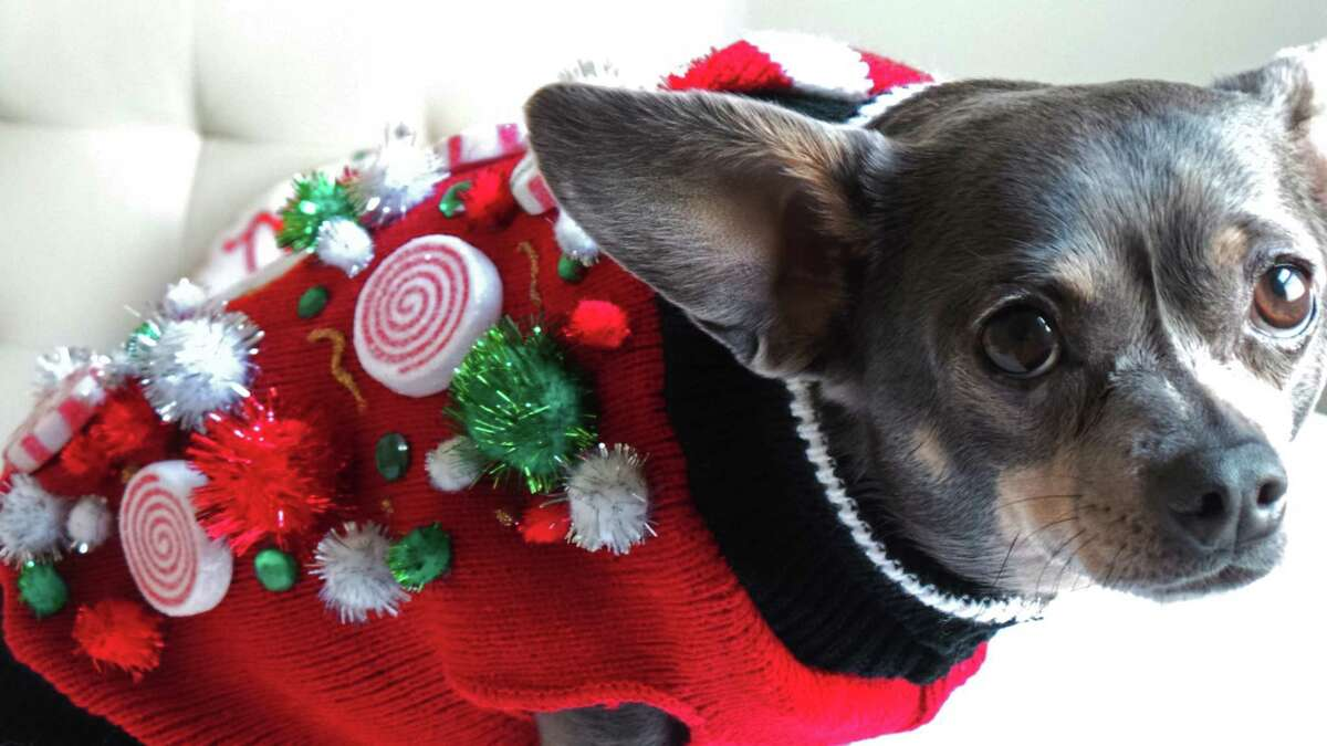 This 2014 photo provided by Aimee Beltran shows her Chihuahua Chuy decked out in an ugly Christmas sweater at her home in Virginia Beach, Va. Ugly sweaters aren't just a Christmas tradition for people. Cats, dogs and even guinea pigs are joining the party.