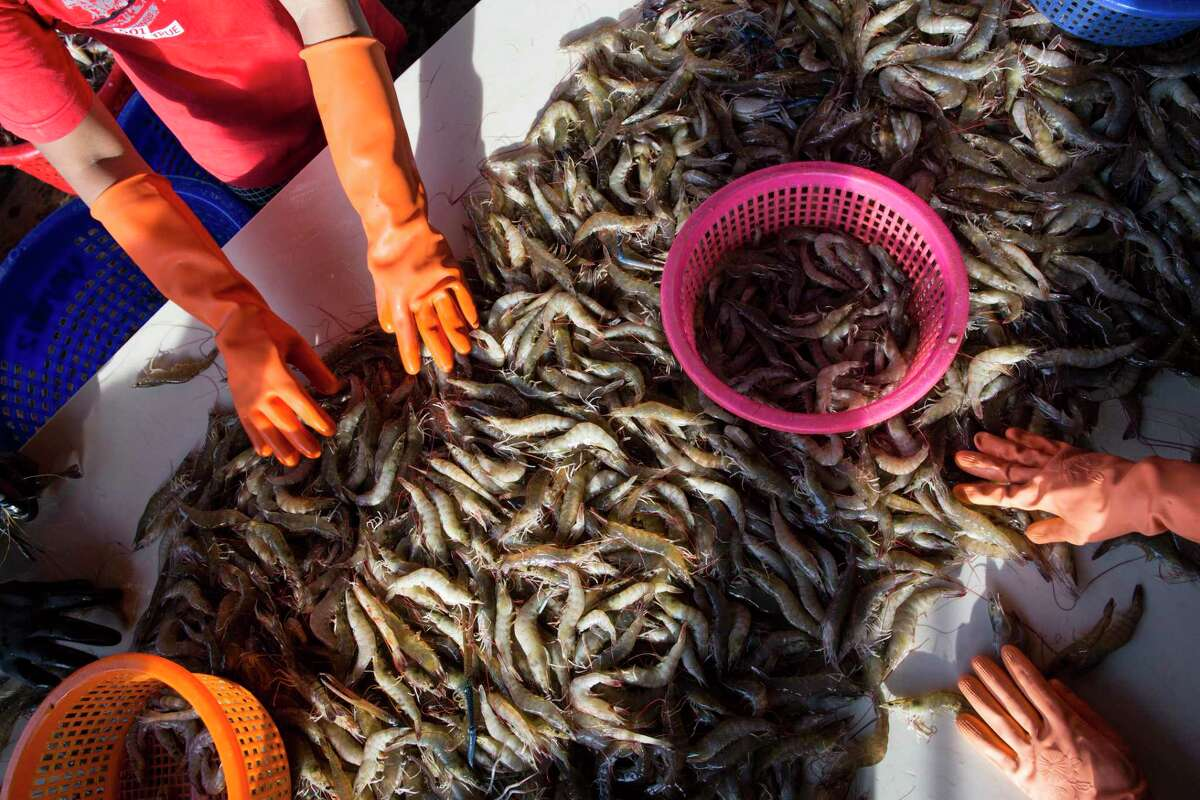 In this Sept. 30, 2015 photo, female workers sort shrimp at a seafood market in Mahachai, Thailand.