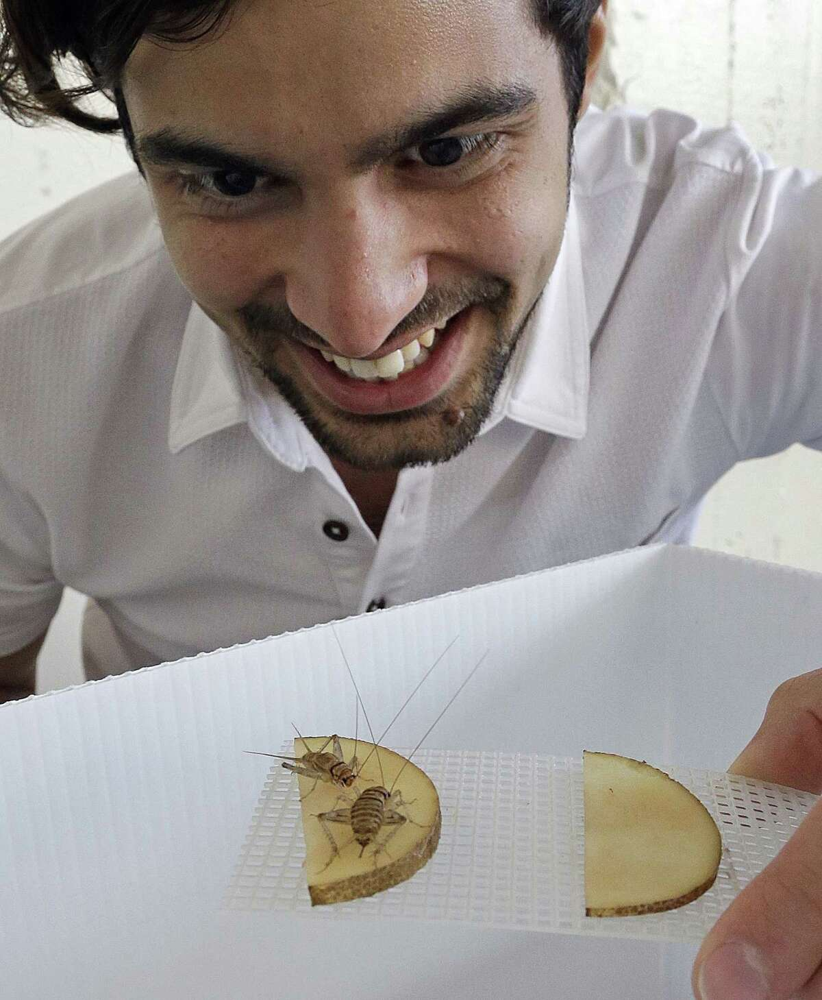 Daniel Imrie-Situnayake inspects a pair of banded crickets retrieving moisture from a sliced potato in an experimental cricket habitat in Oakland, Calif.