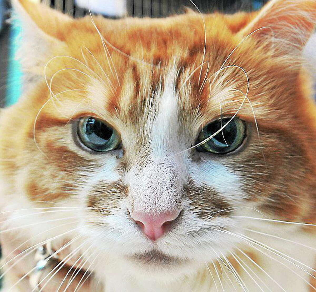 January 31, 2014 - Kimber, a 2-year-old orange and white female. Prefers women over men. Ideally best home would be one where she's the only animal. Call CATALES, Inc. at 860-344-9043. CATALES, Inc. is a non-profit no-kill organization consisting of volunteers dedicated to improving and enriching the lives of homeless cats and kittens. http://www.catales.org/kimber-p-849.html (Catherine Avalone/The Middletown Press)