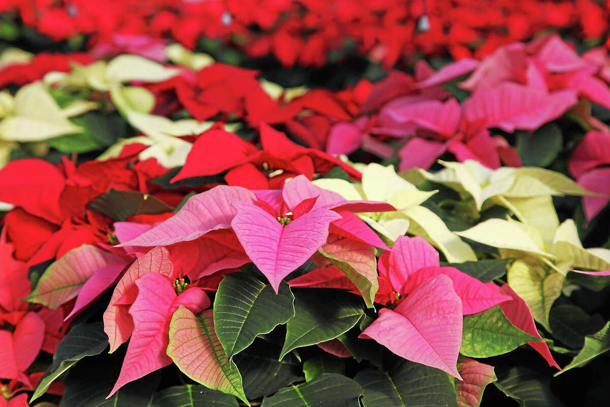 A colorful display of some of the 40,000 poinsettias Country Flower Farms in Middlefield will sell during this Christmas season.