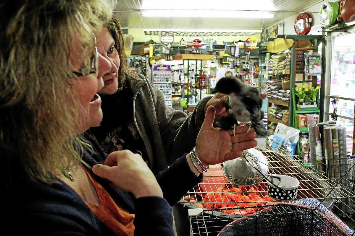 Brenda Eddy and Sally Dwyer admire a Blue Cochin chick at Brenda's Main Street Feed in Durham. A few dozen chicks reamin on sale at the store.