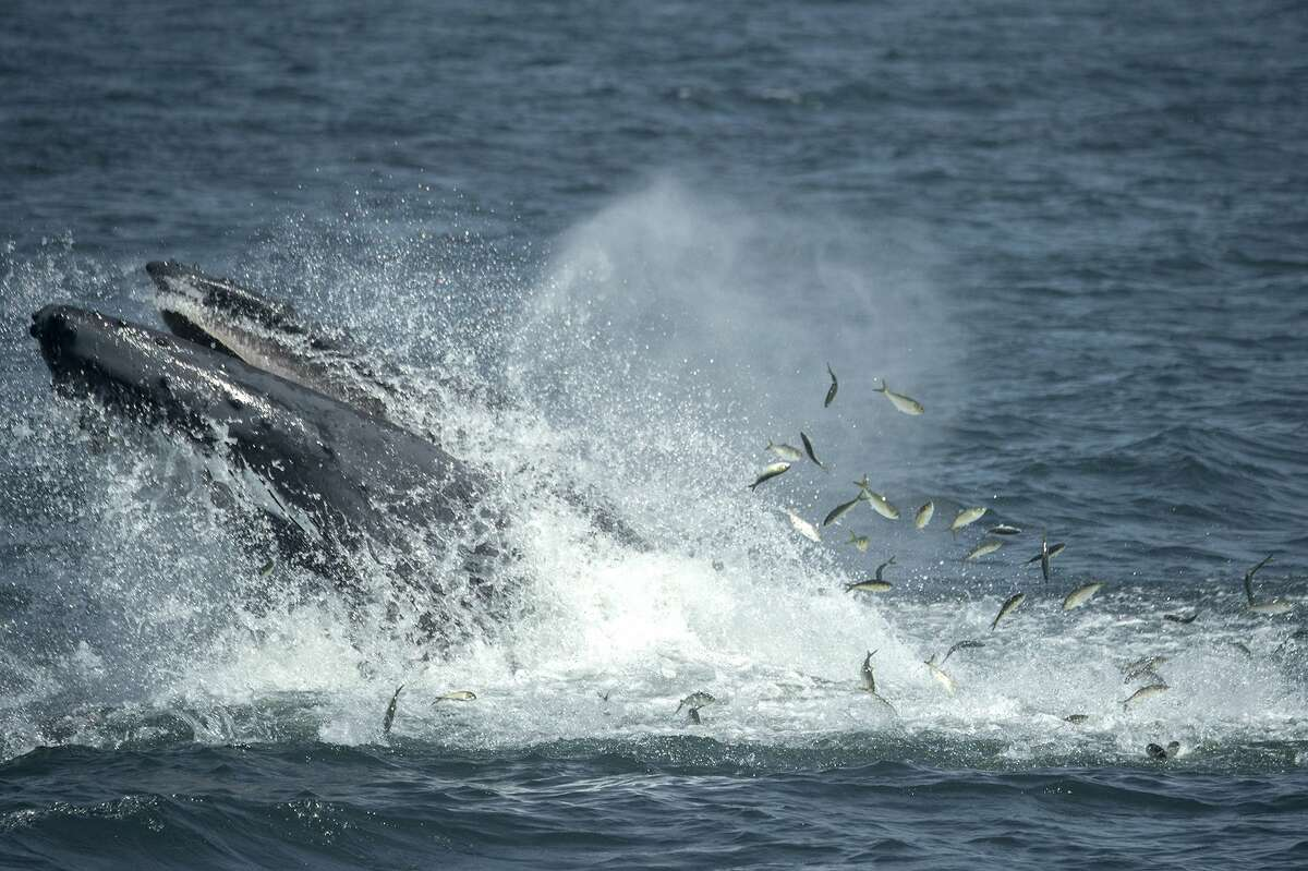 FILE - In this Aug. 28, 2014 file photo provided by the Wildlife Conservation Society, a humpback whale breaks the surface in the waters through a school of fish six miles off the coast of New York City. Naturalists aboard whale-watching boats have seen humpbacks in the Atlantic Ocean within a mile of the Rockaway peninsula, part of New York's borough of Queens. Humpback whales, the gigantic, endangered mammals known for their haunting underwater songs, were spotted 87 times from the boats in 2014. That's up from three sightings in 2011. (AP Photo/Wildlife Conservation Society, Julie Larsen Maher, File)