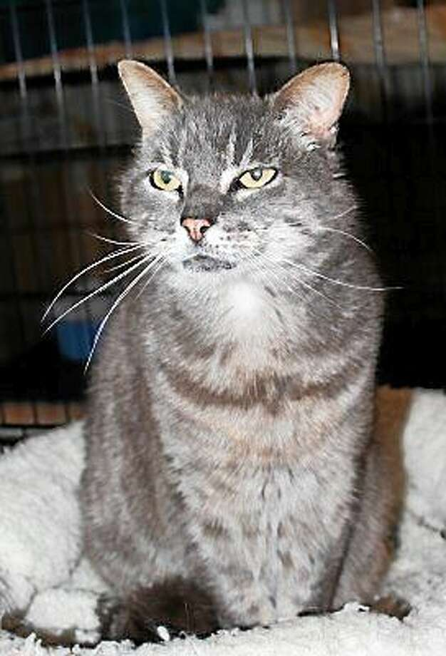 Gender:  Male Breed:  Domestic Short Hair Color:  Silver Tabby Age:  8 years old   Hello!  My name is Ryan.  I am one of the sweetest boys you'll ever meet! I was found injured as a stray. My leg was bitten by a large dog. Even though I was in so much pain, I was happy to be rescued and cared for by Cat Tales.  I walk with a slight limp, but I'm completely healed and ready for my forever home!  I am FIV+ but please don't worry, humans cannot catch this.  Also, it's extremely hard for other cats or animals to catch. We'd have to get in a fight and exchange blood but I am not a fighter, I'm a lover.  I am not a sickly cat - FIV does not make me sick. I can live just as long as any cat without FIV and I can live a relatively normal life without any symptoms at all.  I would only need to visit my Vet twice a year (or how often my Vet advises).  I purr when you pet me and absolutely love attention.  I am a very friendly and affectionate cat. I would do best in a quiet home without dogs or children so I don't have to share you!  Please come to meet me and you'll see how sweet I really am.  I think you'd fall in love with me and want to adopt me on the spot!   No Dogs / No Children  To learn more about FIV, please visit http://www.CatTalesCT.org/fiv-felv/   On the Web:  http://www.CatTalesCT.org/cats/ryan/ Phone: (860) 344-9043 Email: Info@CatTalesCT.org? Petfinder:  https://www.petfinder.com/petdetail/32203318/ Photo: Journal Register Co.