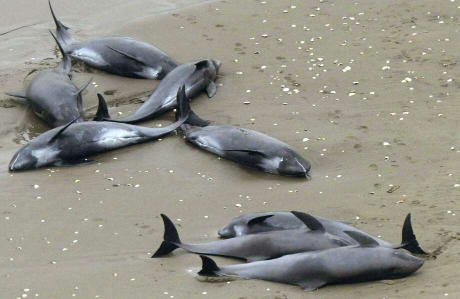 Dolphins lie on the beach in Hokota, north of Tokyo, Friday. Nearly 150 dolphins were found washed ashore the coast in central Japan. A Hokota city official said a total of 149 dolphins were found stranded on the beach by noon, local time. Photo: (AP Photo/Kyodo News)  / Kyodo News