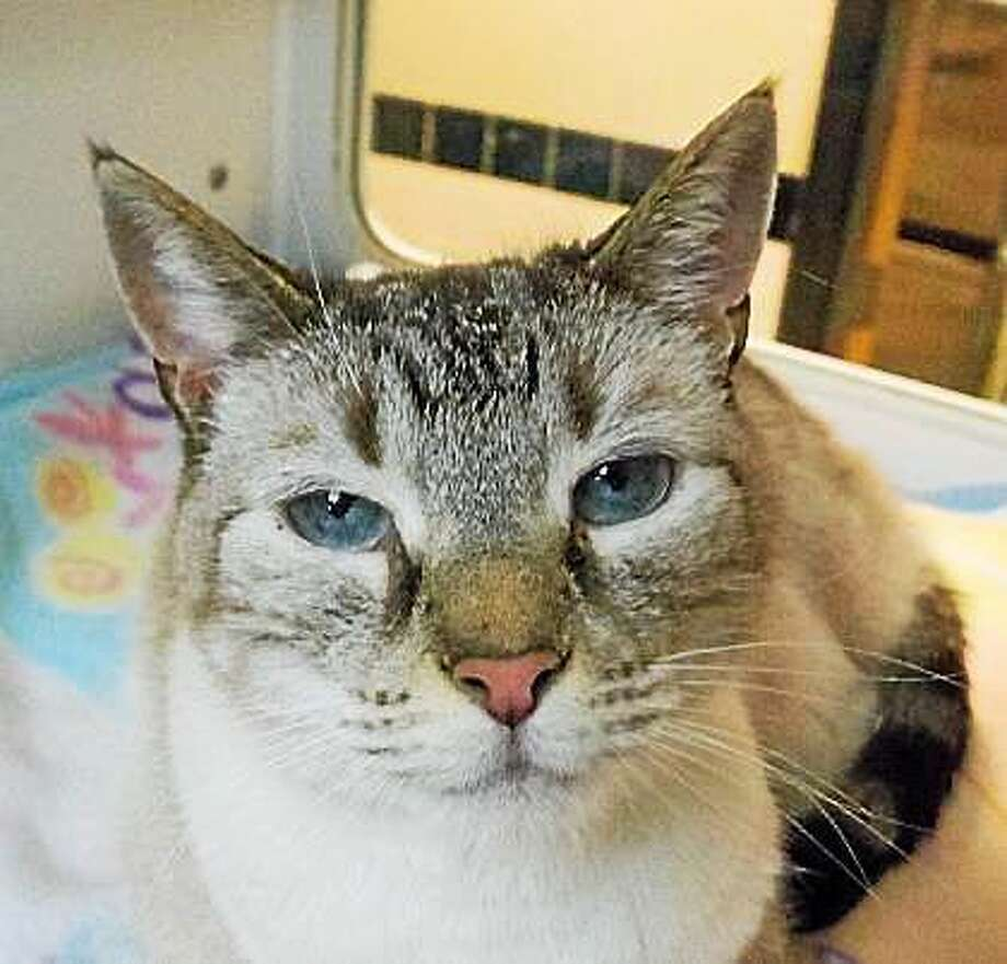 Ghost This beautiful wisp of a cat would love to warm your lap for years to come. Seven-year-old Ghost would like to live with kids over the age of 8. She will pretty much get along with anyone who will be respectful of cats. Ghost does not have much experience living with other furry friends, but she seems interested and willing to try it.  Come and sit with Ghost to see if she seems right for you. Inquiries for adoption should be made at the Connecticut Humane Society located at 701 Russell Road in Newington or by calling 860-594-4500 or toll free at 800-452-0114. Photo: Journal Register Co.