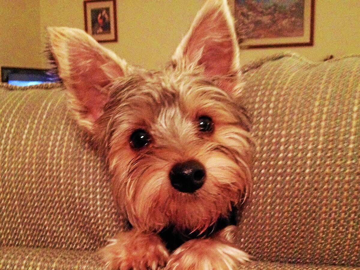 Rudy, a 1-year-old Yorkie puppy from East Hampton, is a sort of television celebrity after the video of him chasing his leash around a chair and yapping was showcased on WFSB.