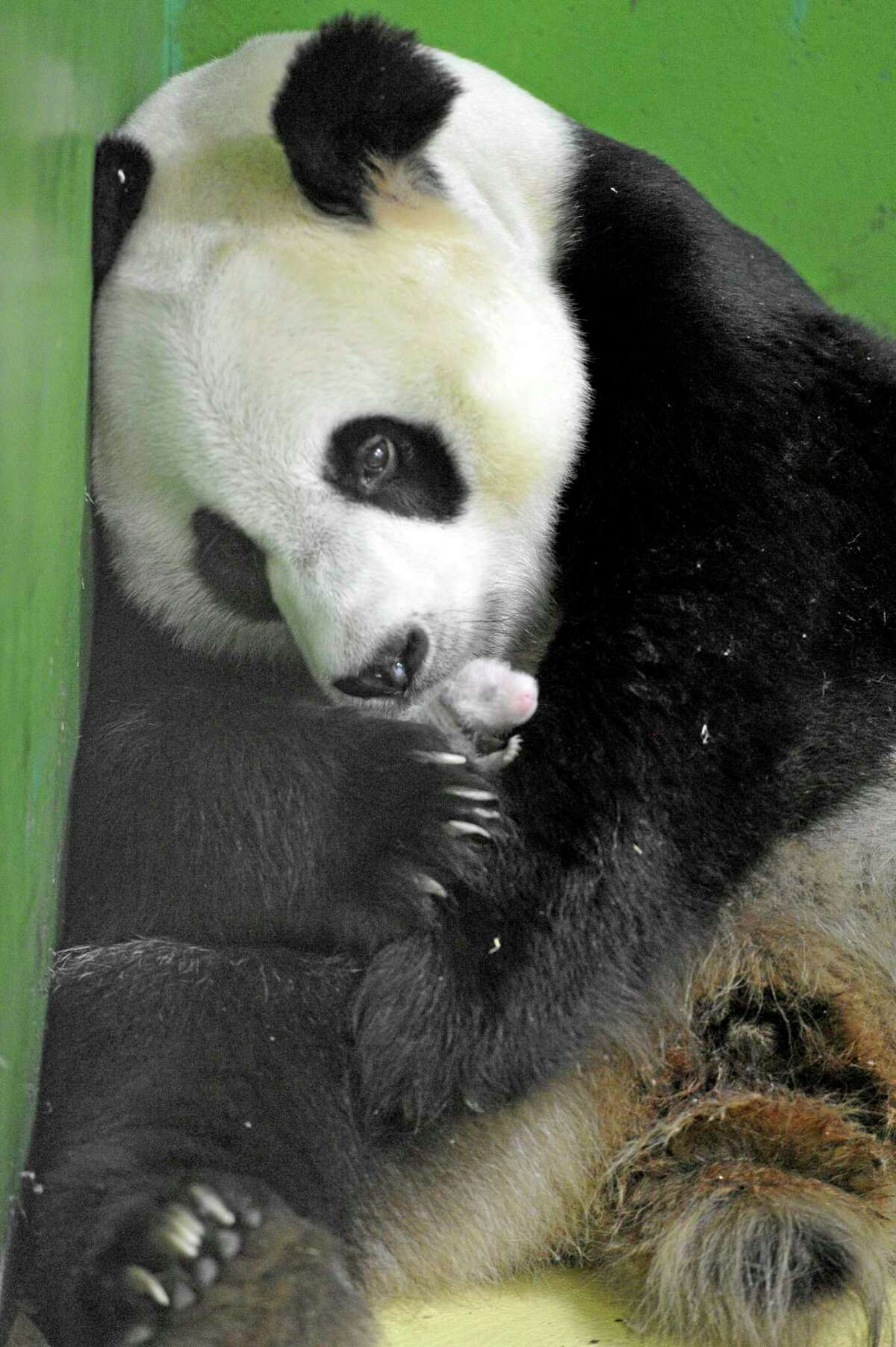 In this photo taken Sunday Aug. 10, 2014, Giant panda Ju Xiao caresses one of her triplet panda cubs in her cell at the Chimelong Safari Park in Guangzhou in south China's Guangdong province. China announced Tuesday, Aug. 12, 2014 the birth of extremely rare panda triplets in a further success for the country's artificial breeding program. The three cubs were born July 29 in the southern city of Guangzhou, but breeders delayed an announcement until they were sure all three would survive, the official China News Service said.(AP Photo) CHINA OUT