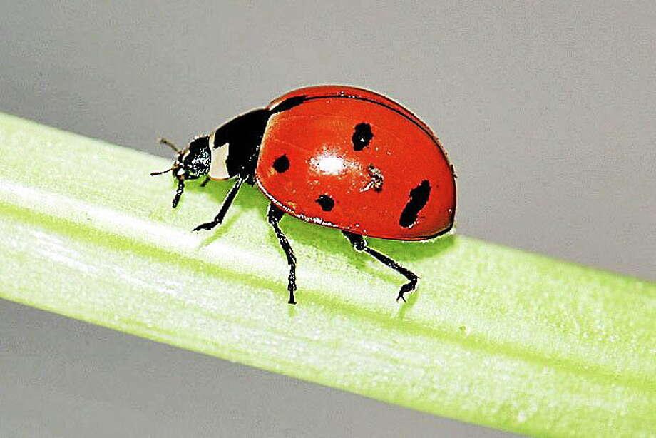 Ladybug Photo: AP File Photo