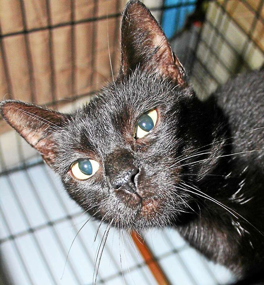 Bianca Bianca is a 2-year-old female. A black domestic shorthair, sheís very sweet and affectionate, doesnít mind being held and is very playful.  Sheís had kittens, and now she is looking for her forever home. Bianca is an easy going girl who canít wait to get all of your love and attention. Call Cat Tales at (860) 344-9043 or Email: info@CatTalesCT.org to inquire about Bianca. Photo: Journal Register Co.