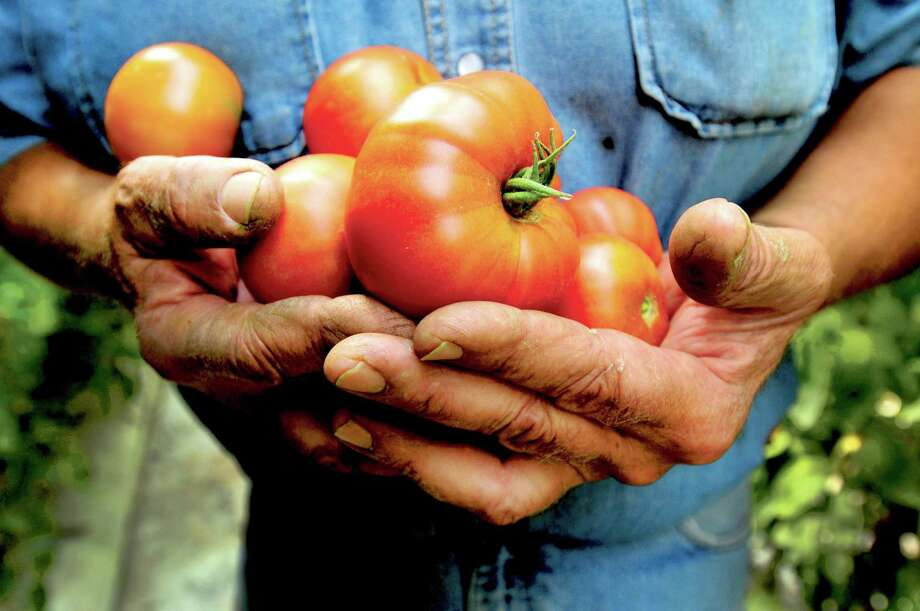 Peter Hvizdak — Register The hard working hands of farmer Jay Medlyn, a fourth-generation owner of Medlyn's Farm in Branford, hold his precious tomatoes. Medlyn is known for his locally grown organic tomatoes. Tuesday, July 30, 2013. Photo: New Haven Register / ©Peter Hvizdak /  New Haven Register
