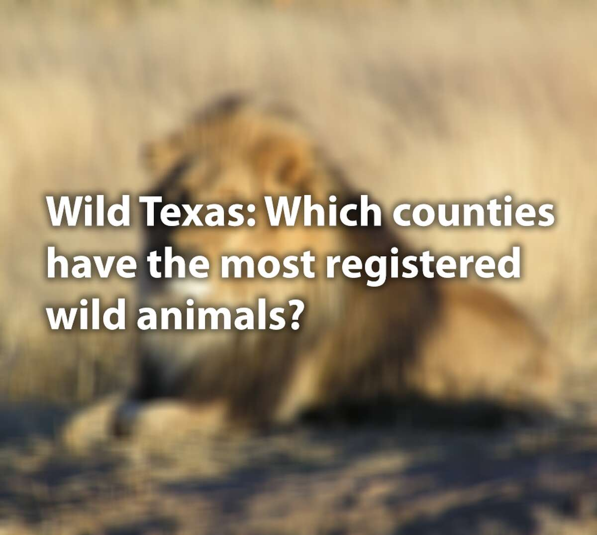 They may be the king of beasts, but lions aren't the most popular wild animal kept by owners in Texas. Texas allows dangerous wild animals to be legally kept by private owners, but they must be registered. Click through to see the most popular dangerous wild animals registered by owners in Texas and where they are.