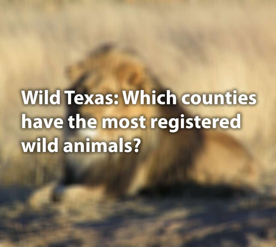 They may be the king of beasts, but lions aren't the most popular wild animal kept by owners in Texas. Texas allows dangerous wild animals to be legally kept by private owners, but they must be registered.Click through to see the most popular dangerous wild animals registered by owners in Texas and where they are.