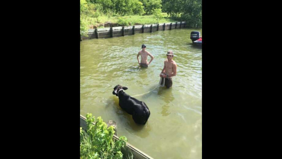 Wild Animals of TexasMontgomery fishermen and police recently rescued a stranded cow from a creek.Click through to see which counties in Texas have the most registered wild animals.