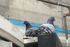 Two pigeons rest in one of several rafters and nooks in the Powell Street BART station that provide the area's large pigeon population spots to rest.