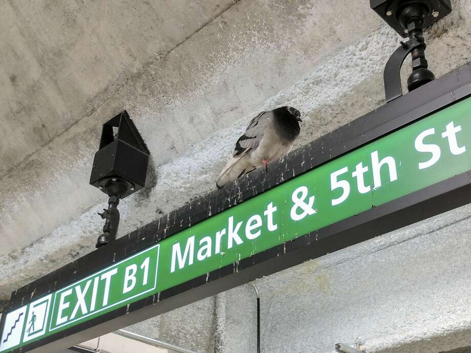 A pigeon rests on a sign directing commuters to one of the Powell Street BART station's exits. The small white spots splattered on the sign are pigeon guano. Photo: Drew Costley/The Chronicle