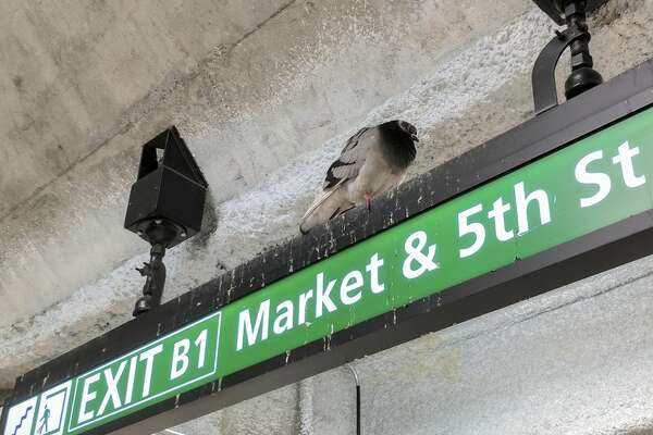 A pigeon rests on a sign directing commuters to one of the Powell Street BART station's exits. The small white spots splattered on the sign are pigeon guano.