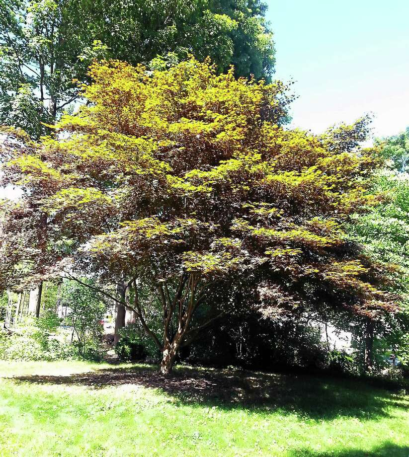 Jane Harris, who chairs the Middletown Urban Forestry Commission, says her 25-year-old Japanese maple is already losing its normal red color. Photo: Courtesy Jane Harris
