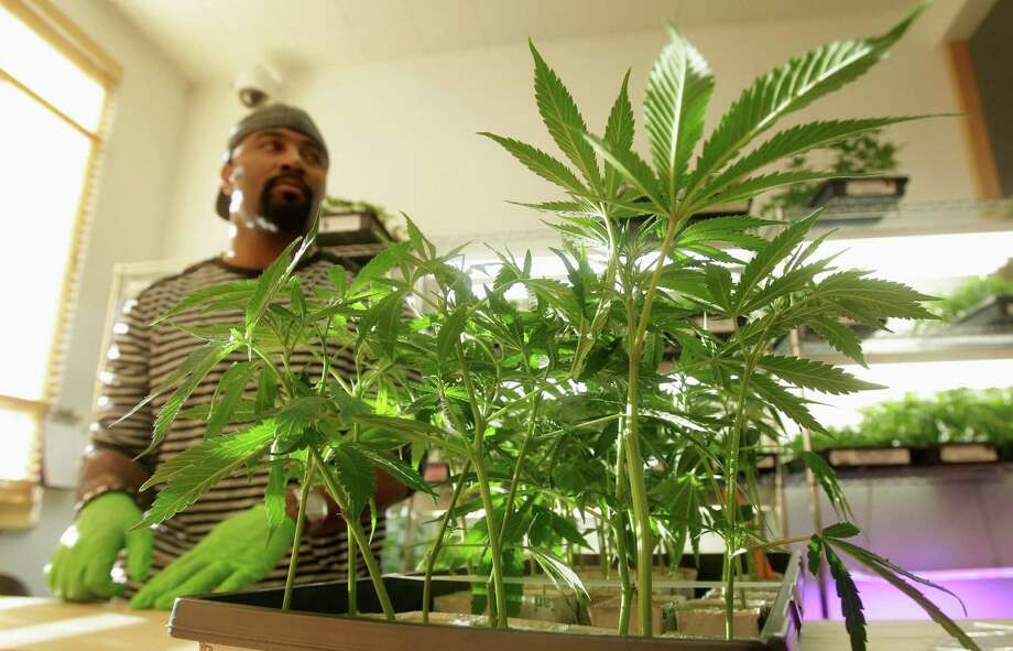 Employee Gerard Barber stands behind medical marijuana clone plants at Harborside Health Center in Oakland, Calif., in this 2011 file photo. Photo: Jeff Chiu — The Associated Press  / AP2011